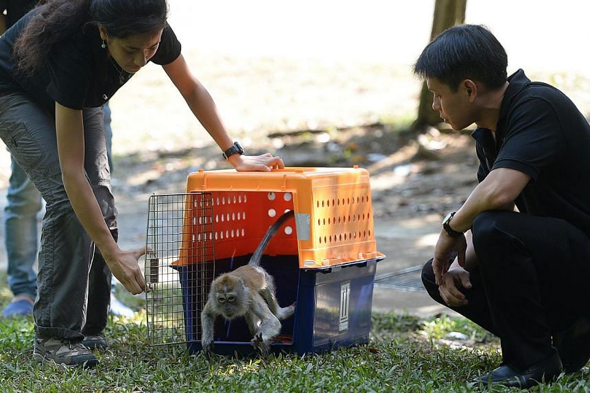 (From left) TheAnimal Concerns Research and Education Society (Acres)campaign executiveSabrina Jabbar, 23, releases a long-tailed macaque from its cage on Tuesday, Oct 8, 2013, as Acres executive director Louis Ng looks on. -- ST PH