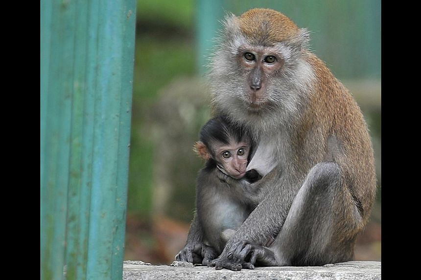 The cage that was set up by AVA contractor Jack Pang near the Bukit Timah Nature Reserve to trap macaques (below).