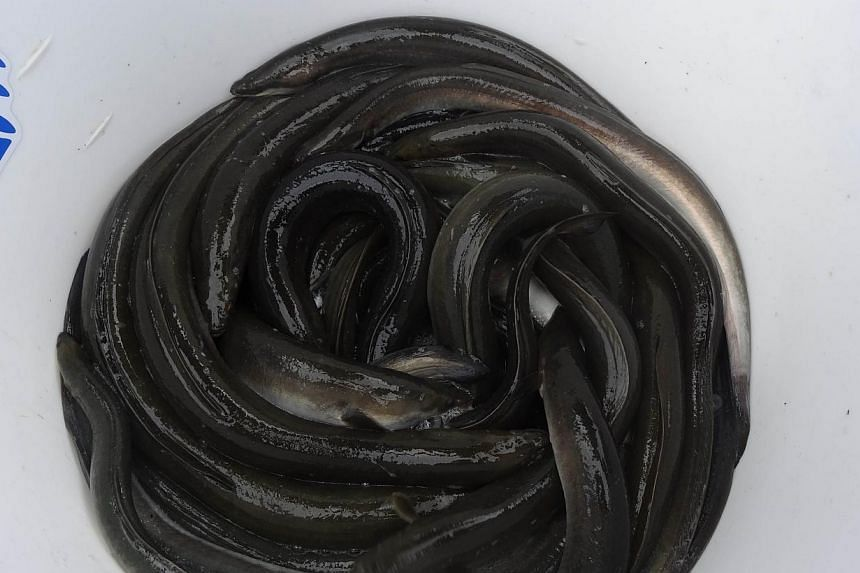 "Dutch eels squirm are pictured in a bucket after being brought ashore before being released on the other side of a Dutch dike at Nieuwendijk on Sept 18, 2013 at the start of the ""Eels over the Dike"" project. -- FILE PHOTO: AFP"
