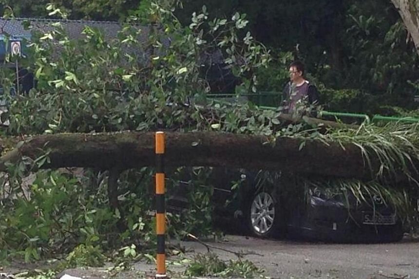 A black Mazda, travelling along Tanglin Road from Margaret Drive, was crushed by a tree on Saturday. -- PHOTO: TWITTER USER KIM VERNON