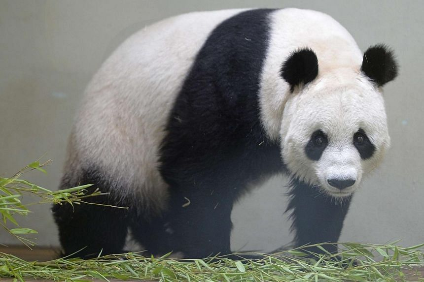 Tian Tian, the female giant panda, stands in her enclosure in Edinburgh zoo, Scotland August 9, 2013.Britain's only female giant panda is believed to have suffered a miscarriage, Edinburgh Zoo said on Tuesday. -- FILE PHOTO: REUTERS