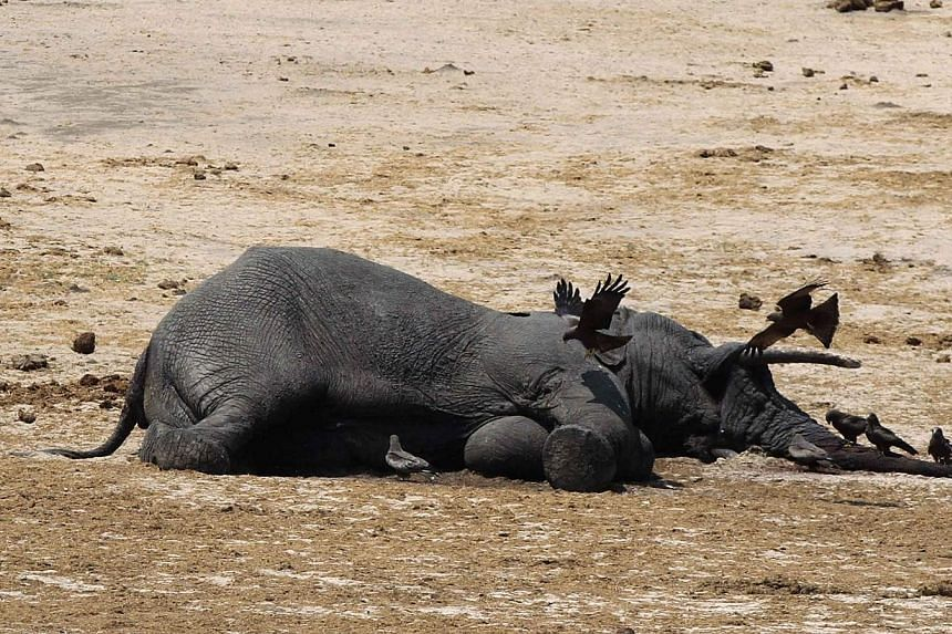 The carcass of an elephant which was killed after drinking poisoned water lies near a water hole in Zimbabwe's Hwange National Park, about 840km east of Harare, on Sept 27, 2013. A Zimbabwe court on Wednesday sentenced a poacher to more than 15