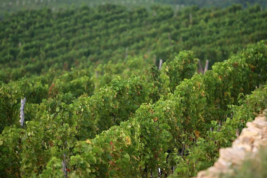 A general view of the vineyard owned by France's Domaine Barons de Rothschild (DBR), maker of the renowned Chateau Lafite reds, in Penglai, east China's Shandong province, is seen in this photo taken on Aug 29, 2013. DBR, one of the world's fin