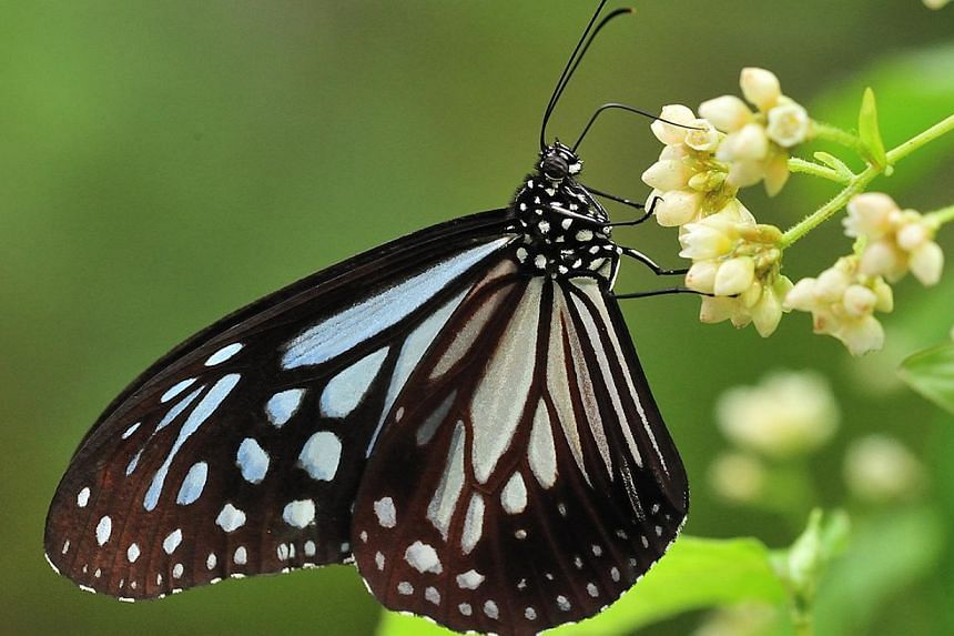 The Painted Jezebel is commonly spotted in both nature reserves and urbanised areas in Singapore. They usually fly at treetop levels during the day. Butterfly species that are believed to be extinct here include the Smaller Wood Nymph (above), the Ch