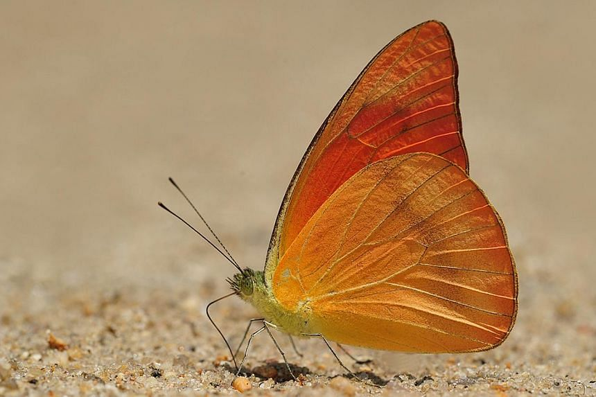 Butterfly species that are believed to be extinct here include the Smaller Wood Nymph, the Chocolate Tiger, and Orange Albatross (above). They can still be found in parts of Malaysia. -- PHOTOS: KHEW SIN KHOON