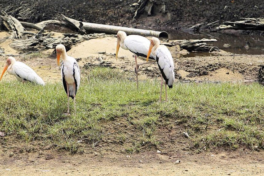 Milky storks sunning themselves during the 24-hour 30th Big Bird Race organised by the Nature Society, which kicked off at Sungei Buloh Wetland Reserve on Oct 19 2013. -- ST PHOTO: KEVIN LIM