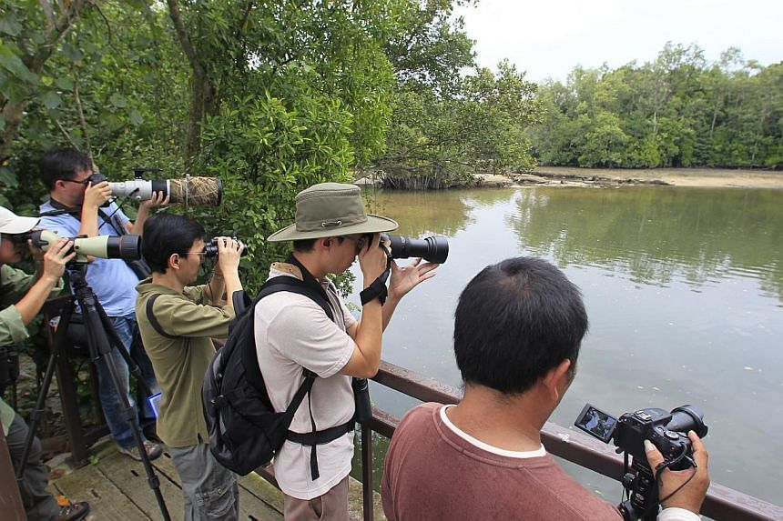 Participants tried to spot as many birds as they could during the 24-hour race at Sungei Buloh Wetland Reserve (above), such as milky storks sunning themselves, and a collared kingfisher in the trees. Photography teams had to submit pictures of speci