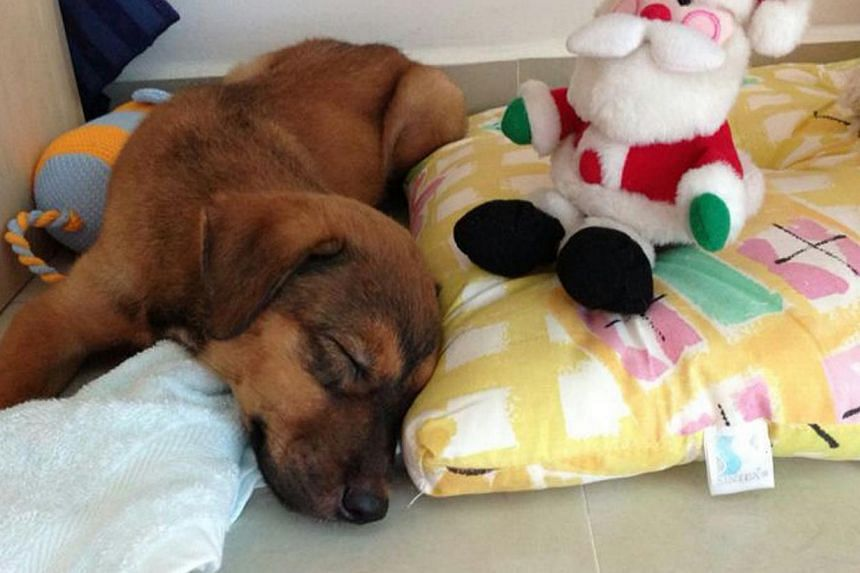 The mongrel puppy at its foster home in May 2013. The veterinarian at The Animal Clinic, who put down the seven-month-old mongrel, which was deemed to be aggressive, had followed all protocol, said the Agri-Food and Veterinary Authority.-- PHOT