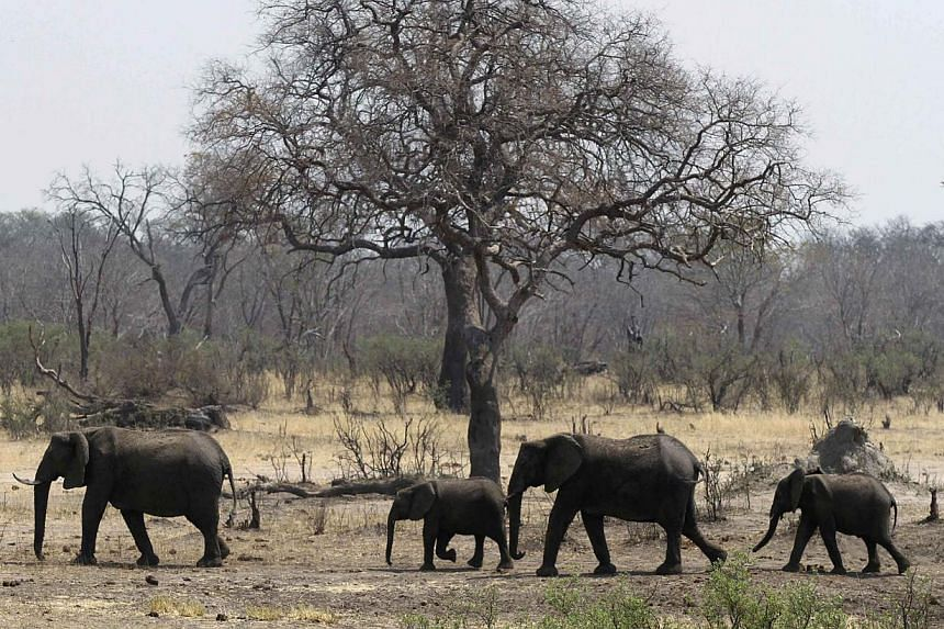 A herd of elephants walks near a water hole in Zimbabwe's Hwange National Park, about 840km east of Harare, on Sept 27, 2013. Elephants attacked and killed a veteran ranger on patrol in Zimbabwe's largest game reserve, Hwange, where over 300 pachyder