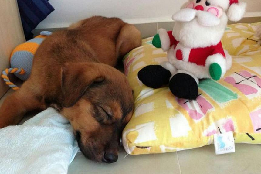 "Tammy, the seven-month-old mongrel that was controversially euthanised by its adopted owner, at its foster home in May 2013. The rehomer of Tammy ""should get a lawyer to pursue the matter"", said Law Minister K. Shanmugam in a Facebook post"