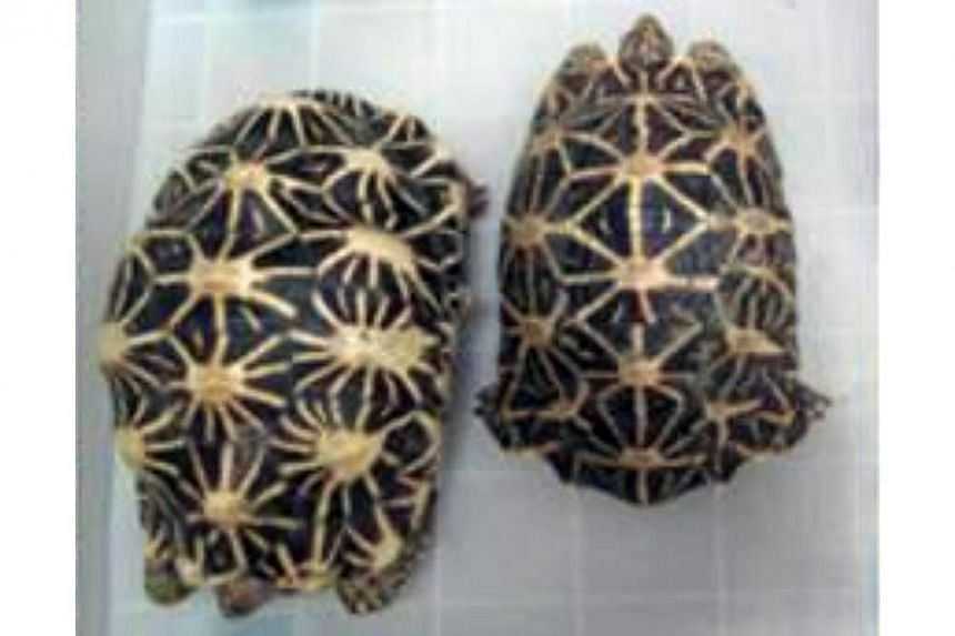 File photo of an Indian star tortoise.Two men were charged in court on Thursday with stealing a $2,000 Indian star tortoise from the Live Turtle and Tortoise Museum. -- FILE PHOTO: AVA