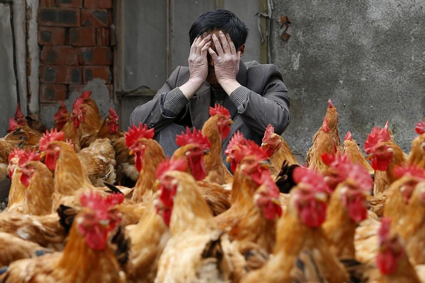 A breeder covers his face as he sits behind his chickens, which according to the breeder are not infected with the H7N9 virus, in Yuxin township, Zhejiang province, in this April 11, 2013 file photo. Fresh human cases in eastern China of a deadl