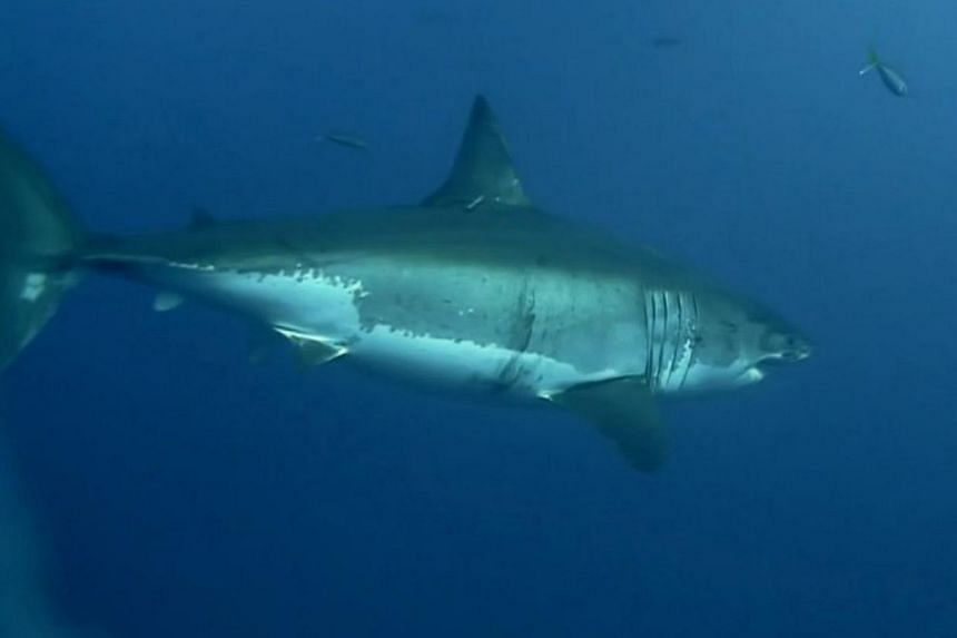 A woman suffered serious injuries after being bitten by a shark while snorkelling off remote Western Australia, officials said. -- FILE PHOTO: SINGTEL