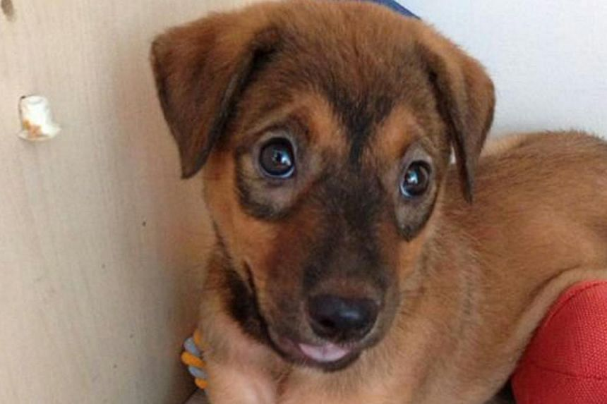 The putting down of this puppy by its adopter has led to a dispute with the animal welfare volunteer who helped find it a home. -- PHOTO: PRISCILLA TAN