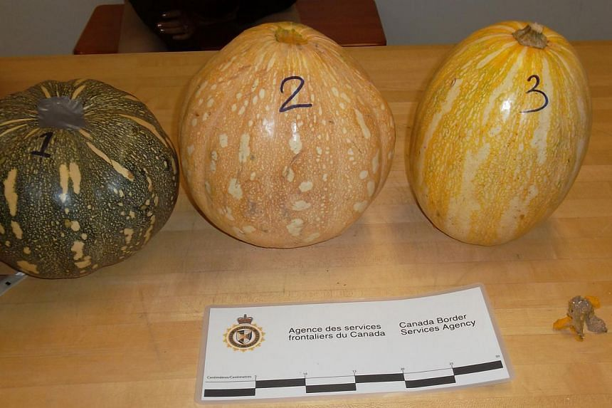 This image released by the Canada Border Services Agency, shows pumpkins confiscated by Canadian border officials in Montreal on Oct 31, 2013.A woman arriving at Montreal's airport was handed over to Canadian federal police on Thursday after a