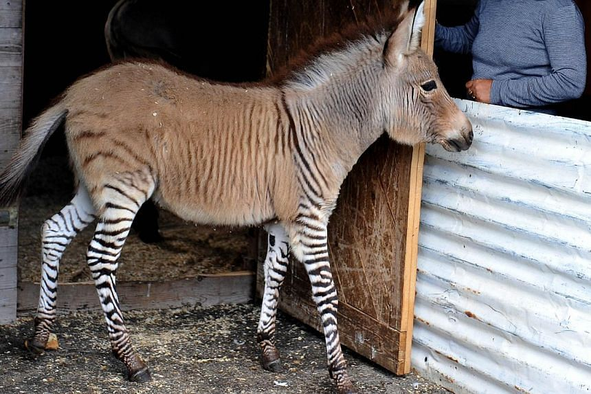 "Ippo, a three month old ""zonkey"", a crossing between a zebra and a donkey, stands in its pen in a reserve in Florence, on Oct 11, 2013. An act of love between Martin the zebra and Giada the donkey in the romantic Italian city of Florence has produced"