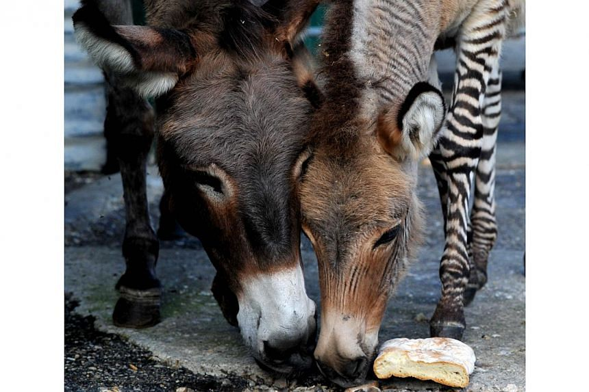 Ippo (right), a three month old zonkey, a crossing between a zebra and a donkey, eats next to his mother in their pen in a reserve in Florence, on Oct 11, 2013. -- FILE PHOTO: AFP