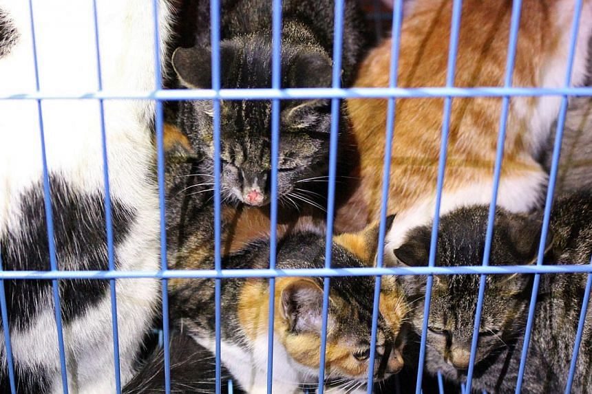 This picture taken on November 1, 2013 shows rescued cats in a cage in Wuxi, east China's Jiangsu province. Animal activists are combing a forest in eastern China for more than 1,000 kittens rescued from a meat supplier only to be let loose by the lo
