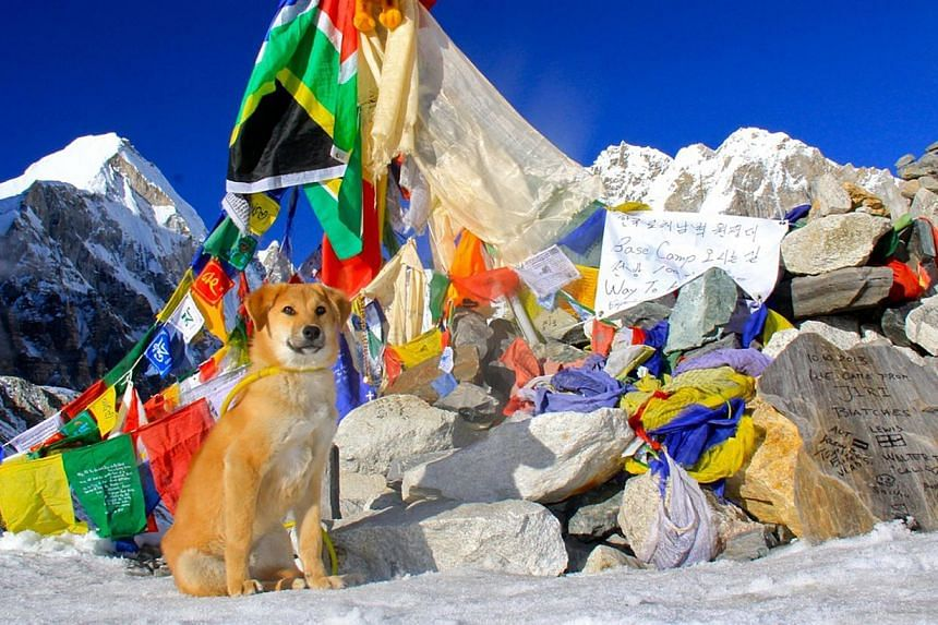 This undated handout photograph released by worldwooftour.com on Wednesday, Nov 13, 2013, shows adopted Indian dog named Rupee at Nepal's Everest Base Camp.An abandoned puppy rescued from a rubbish dump in India has trekked to Everest Base Camp