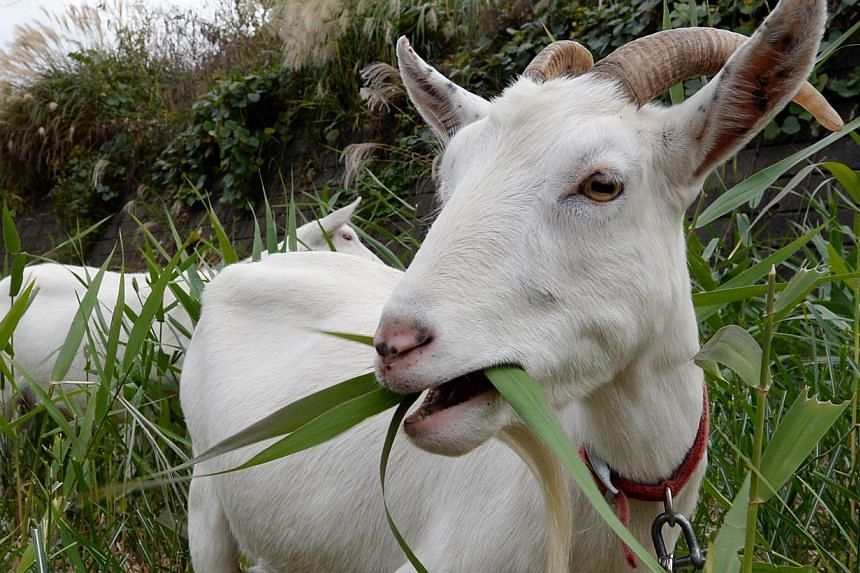 Goats eat weeds at the Urban Renaissance Agency condominium complex in Machida in western Tokyo, on Nov 14, 2013. A Japanese condominium complex has decided to ditch noisy lawnmowers and their paid pushers for a more natural option, goats. -- PHOTO: