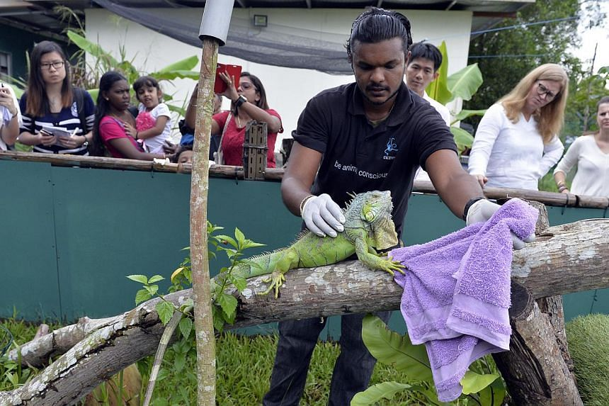 The Animal Concerns Research and Education Society (Acres) head of Animal Care Kalaivanan Balakrishnan, 27, releasing Kanmani, an iguana, into it's new enclosure at the Acres Wildlife Rescue Centre, on Thursday, Nov 14, 2013. Acres unveiled a new san
