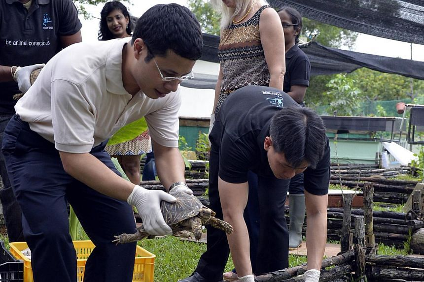 Minister of State for National Development Desmond Lee (left) and Acres Executive Director Louis Ng releasing tortoises into a new enclosure at the Acres Wildlife Rescue Centre, on Thursday, Nov 13, 2013. -- ST PHOTO: DESMOND FOO