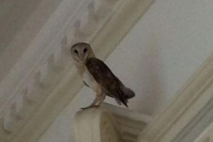 A barn owl made a surprise visit to Prime Minister Lee Hsien Loong's office on Wednesday morning. It had most likely flown into the building overnight and was found perched high and out of reach, said PM Lee in a Facebook post, on Wednesday, Nov 20 2