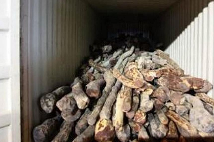 The Agri-Food and Veterinary Authority and Singapore Customs conducted a series of operations over the past two weeks to stop the shipment of $5 million worth of red sandalwood - an endangered species. --PHOTO: AVA/ SINGAPORE CUSTOMS
