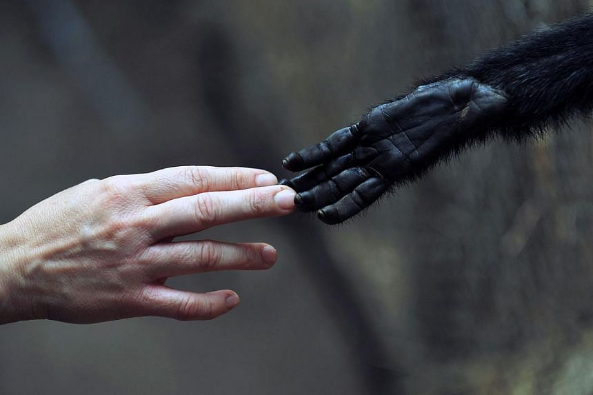 A woman touches a Spider Monkey at the Rehabilitation Centre and Primate Rescue, in Peñaflor, 36km south-west from Santiago, on Nov 23, 2013. -- PHOTO: AFP