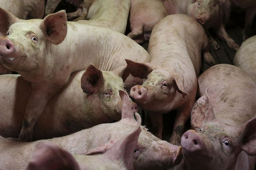 Pigs at a pig farm in Lamballe, central Brittany, Nov 5, 2013. A group of Calabrian mafia assassins beat a rival with a spade and fed him alive to pigs, Italian police said. -- FILE PHOTO: REUTERS