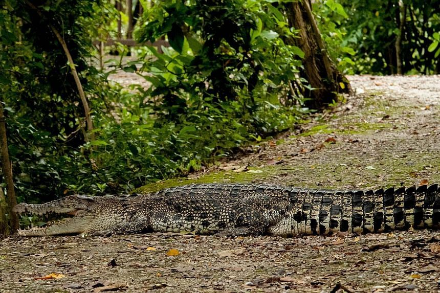 The saltwater crocodile lying across the main footpath in Sungei Buloh Wetland Reserve on Nov 20, which photographer Richard Seah, a regular visitor, estimated to be 3m long. -- PHOTO: RICHARD SEAH