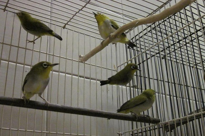 The seized birds. -- PHOTO: AVA SINGAPORE