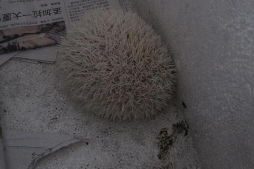 One of the hedgehogs seized. -- PHOTO: AVA SINGAPORE