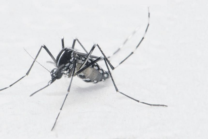 The Aedes albopictus mosquito is the primary vector for chikungunya here. For a while, the dengue-like disease had seemingly been eradicated, but this year's outbreak has put paid to hopes of its demise.