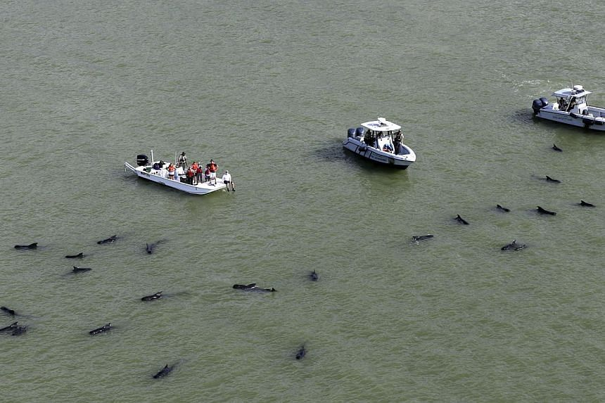 Officials in boats monitor the scene where dozens of pilot whales are stranded in shallow water in a remote area of Florida's Everglades National Park, on Dec 4, 2013. -- PHOTO: AP