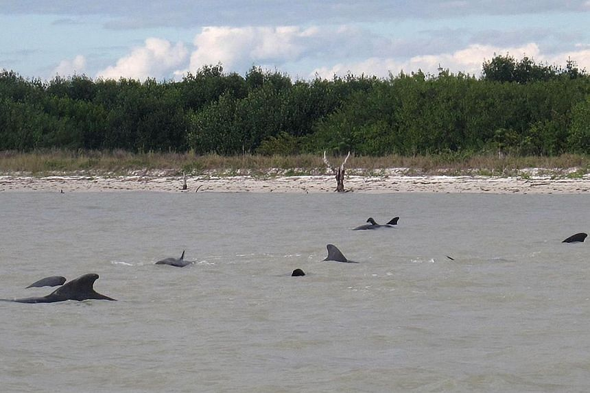 In this Tuesday, Dec 3, 2013 photo provided by the National Park Service, pilot whales are positioned in shallow waters just off a beach in a remote area of the western portion of Everglades National Park, Florida. Federal officials said some whales