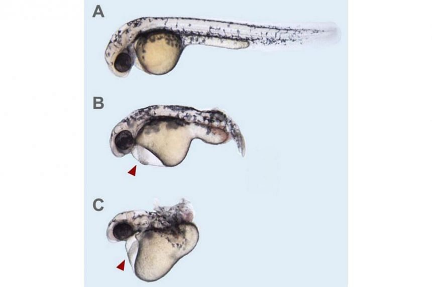 A zebrafish embryo seen in 3 phases at its 6-day development as it loses its heart (red arrow) and tail (B, C) due to the absence of the Elabela hormone.Scientists at the Institute of Medical Biology (IMB) and Institute of Molecular and Cellula