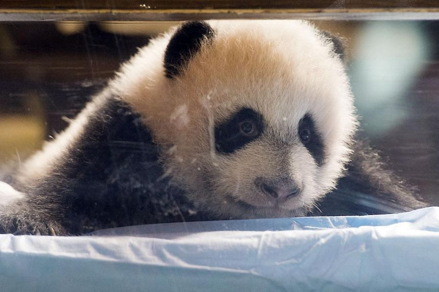 Madrid's new, three-month-old baby panda (above) will be named Xing Bao, which means Treasure Star or Father's Treasure in Mandarin, the city's Zoo Aquarium announced on Thursday. -- PHOTO: AFP