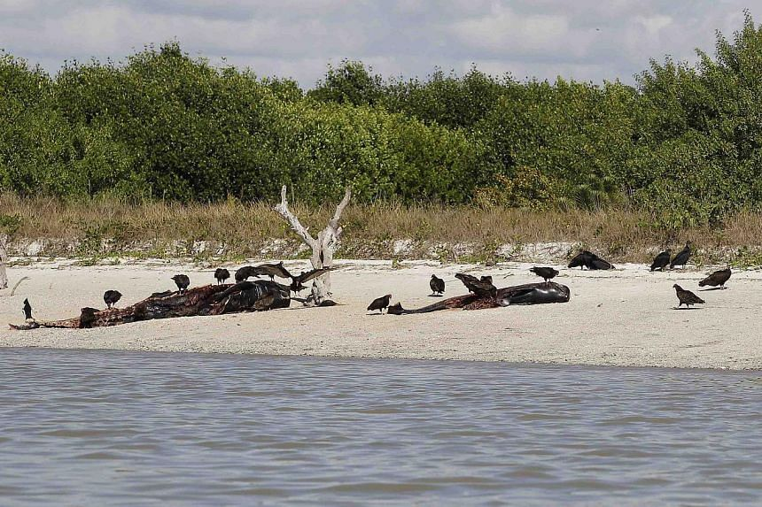 Vultures and dead pilot whales that beached themselves and became stranded in Everglades National Park, are seen on the southwestern Florida coast on Dec 5, 2013.The fate of some 40 stranded whales off Florida was unclear on Friday, with offici