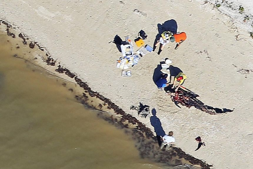 A deceased short-finned pilot whale is examined on the beach in Everglades National Park, Florida on Dec 5, 2013. Rescuers involved in the search for 40 pilot whales still stranded in Florida will suspend their operations on Sunday after failing to s