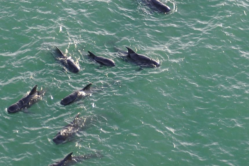 In this image released by the US Coast Guard, a pod of pilot whales swims off the coast of Everglades National Park in Florida on Dec 5, 2013. Rescuers involved in the search for 40 pilot whales still stranded in Florida will suspend their operations
