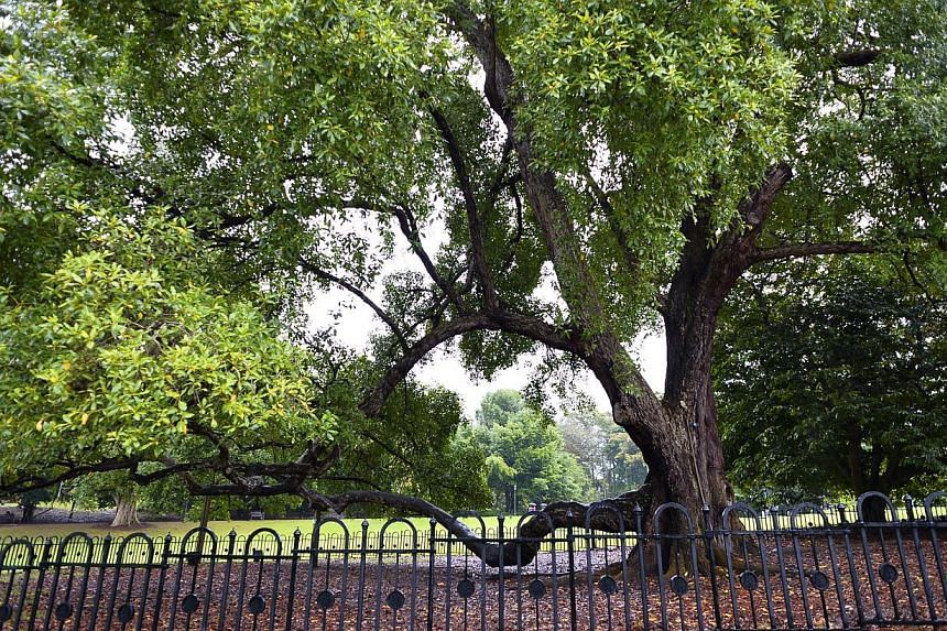 This Tembusu heritage tree at the Gardens was fenced up recently to protect it from the high number of visitors treading around it.