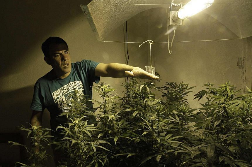 Marijuana activist and indoor grower Juan Vaz checking the temperature in his indoor cultivation in Montevideo, Uruguay, on December 6, 2013. Uruguay is to give the green light on Tuesday to making marijuana legal, in a social experiment that co