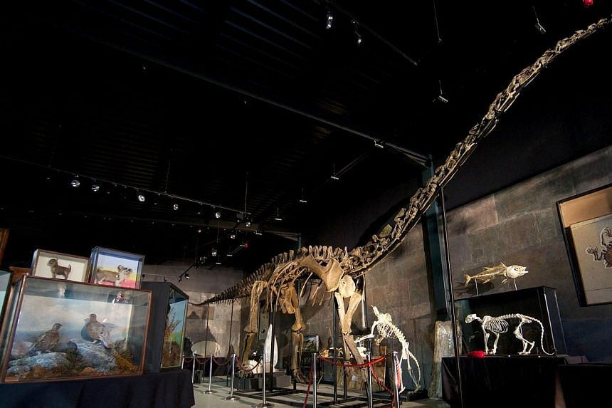 The skeleton of a Diplodocus Longus, one of the most iconic dinosaurs and one of the largest animals to have walked on earth, is displayed at Summers Place Auctions in West Sussex . A rare full skeleton of a huge diplodocus dinosaur sold in Britain f