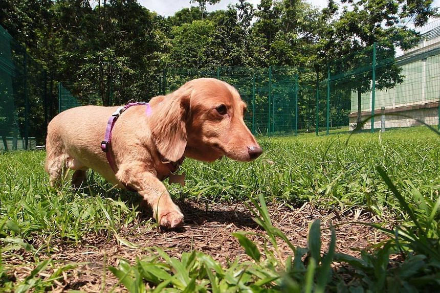 Kismat, a long-haired mini dachshund, wanders around at the dog run area within the facility. -- ST PHOTO: NEO XIAOBIN