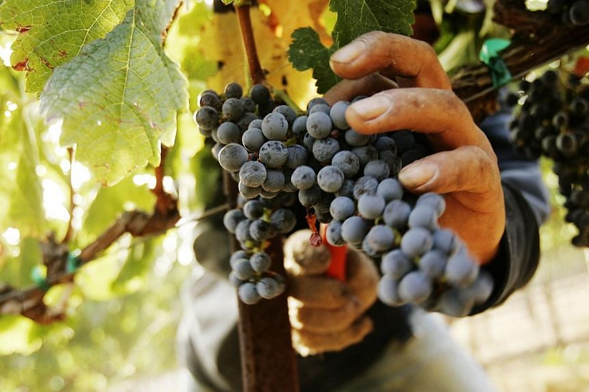 New Zealand winegrowers enjoyed a record harvest in 2013 but are well placed to avoid the oversupply issues that have hampered them in the past, accounting giant Deloitte said on Thursday. -- PHOTO: REUTERS