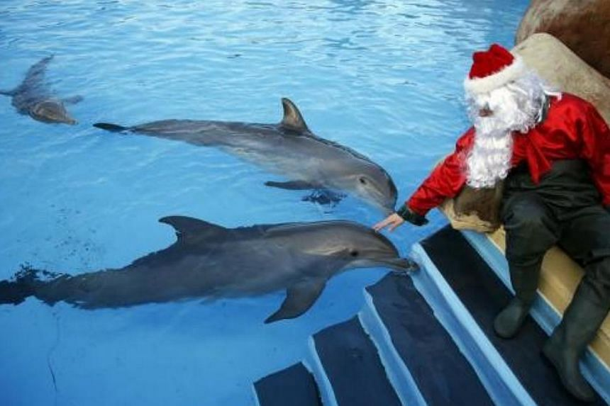A man dressed as Santa Claus pets dolphins at the Marineland Aquatic Park as part of Christmas holiday season preparations in Antibes, south-eastern France, on Dec 12, 2013.-- FILE PHOTO: REUTERS