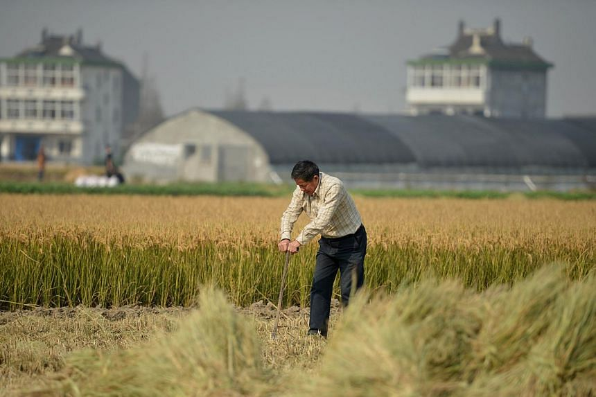This picture taken on Nov 19, 2013, shows a farmer working in his rice field in the farming village of Gangzhong in China's eastern Zhejiang province.About 3.33 million hectares of China's farmland is too polluted to grow crops, a government of