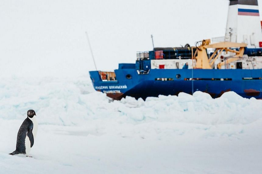 An adelie penguin near the MV Akademik Shokalskiy (right), still stuck in the ice off east Antarctica, as the ship waits for a possible helicopter rescue, on Jan 2, 2014. -- PHOTO: AFP/ FOOTLOOSEFOTOGRAPHY.COM