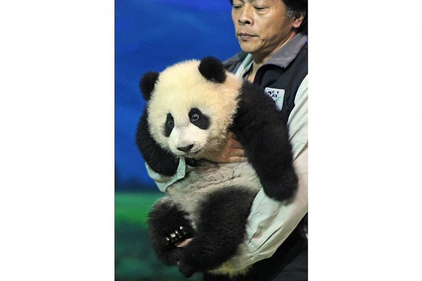 Yuan Zai , the first Taiwan-born baby panda, is carried by a staff member at the Taipei City Zoo, on Jan 4, 2014.-- PHOTO: AFP